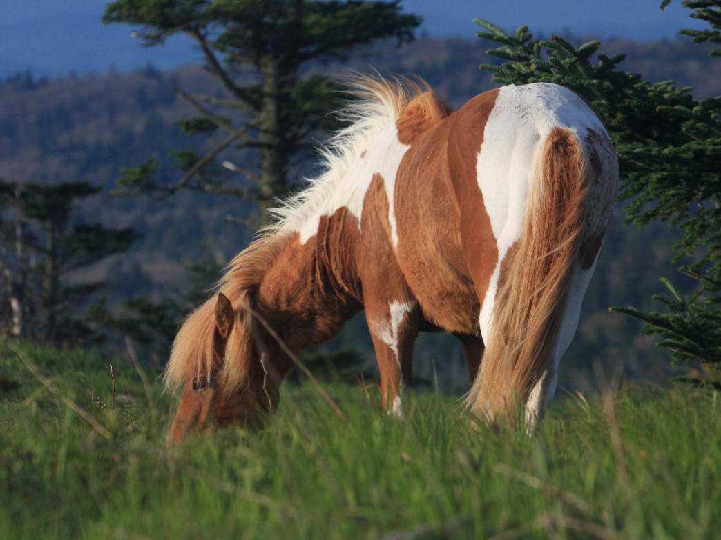 Wild ponies are common at Mount Rogers National Recreation Area.