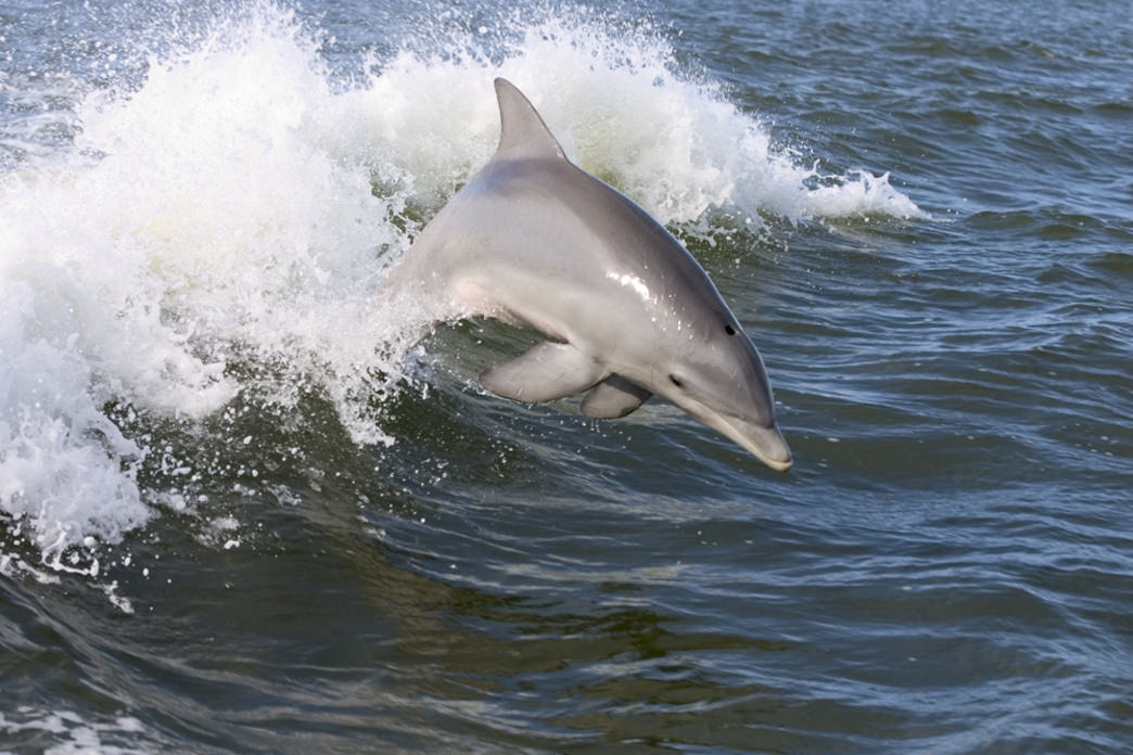 You can see dolphins both above and underwater around the Gulf Coast.