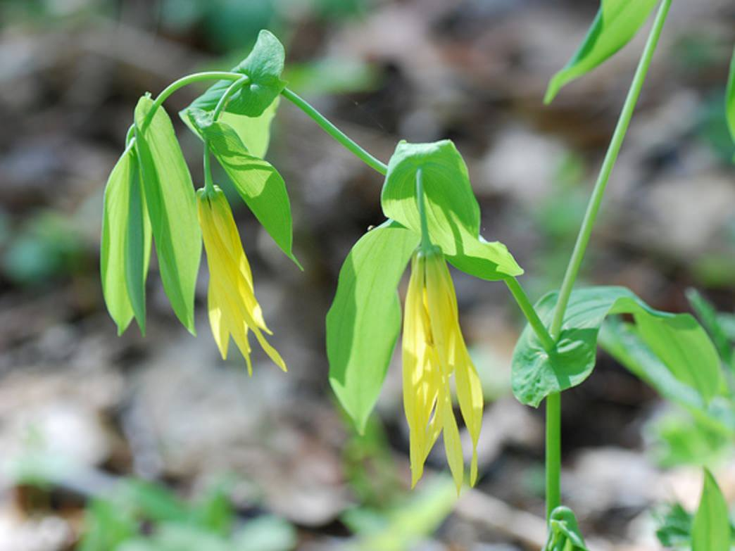 Large flowered bellwort