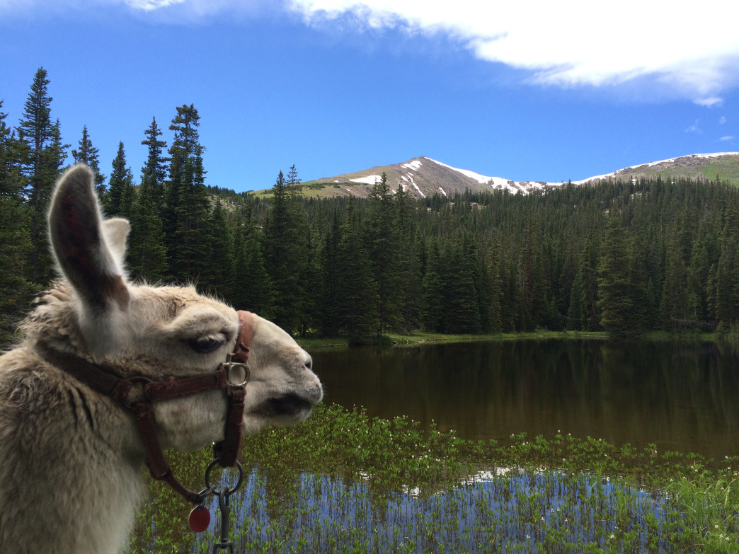 Llama trekking lets you get into the backcountry without carrying all of your own gear.