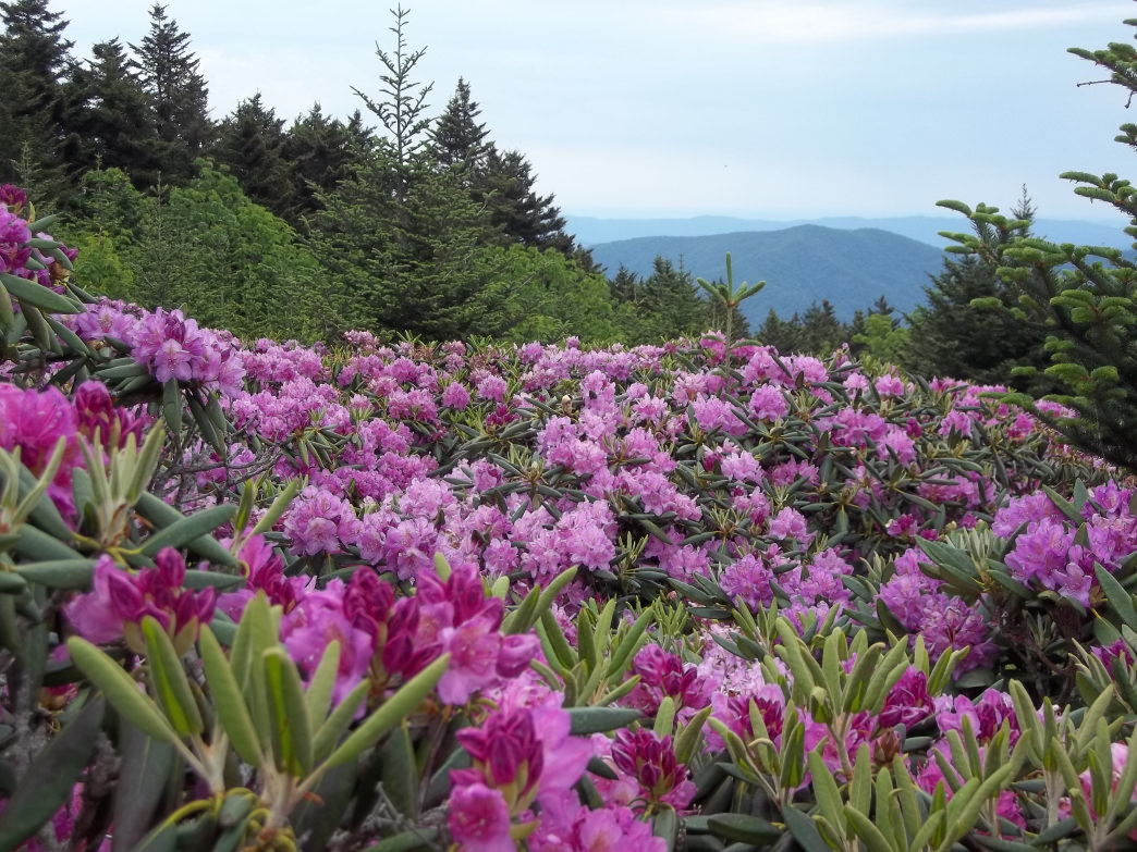 Roan Mountain State Park is famous for its brilliant rhododendron blossoms.