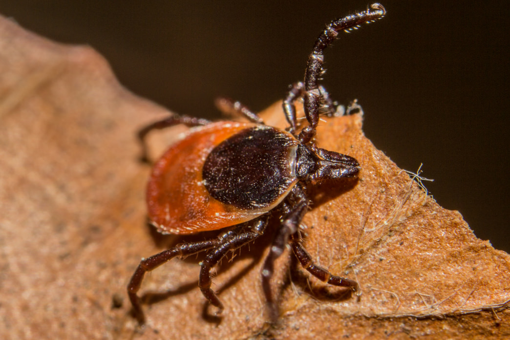 Ticks aren't just creepy - they transmit several diseases.