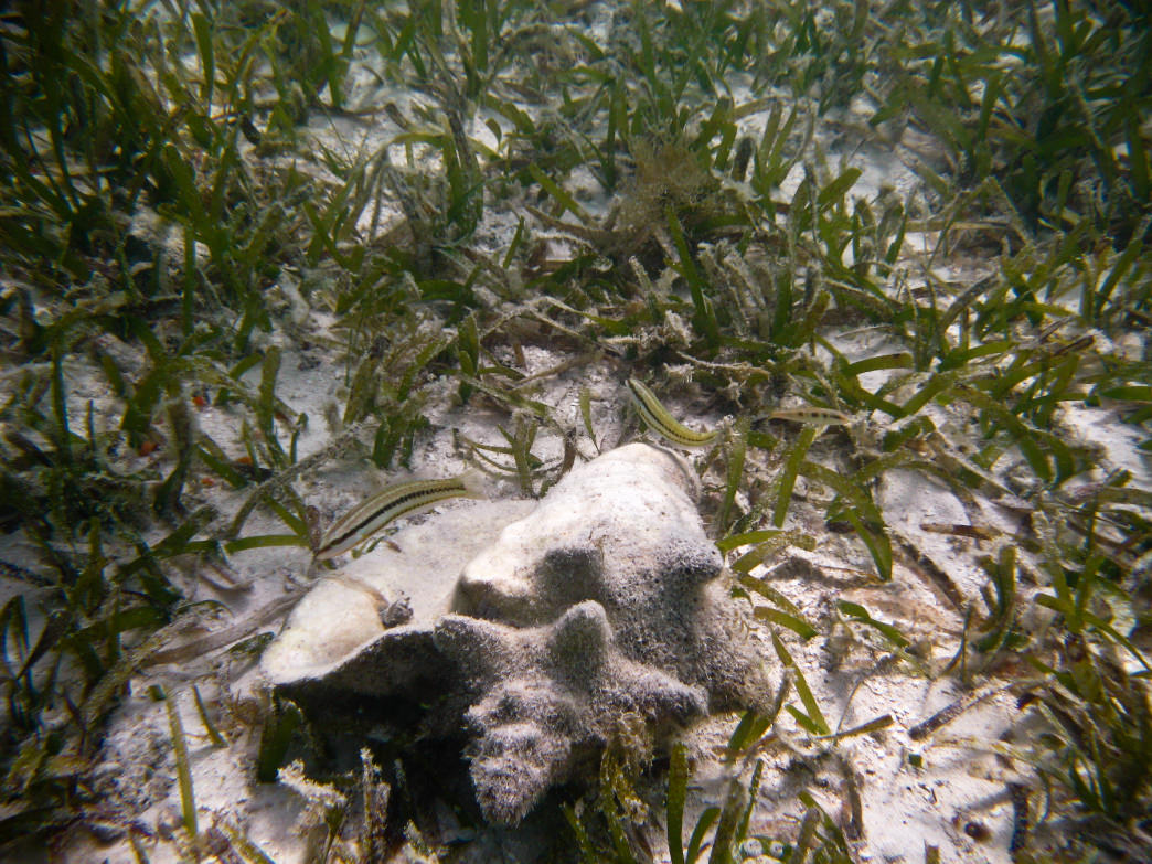 Look for conch in the sea grass.