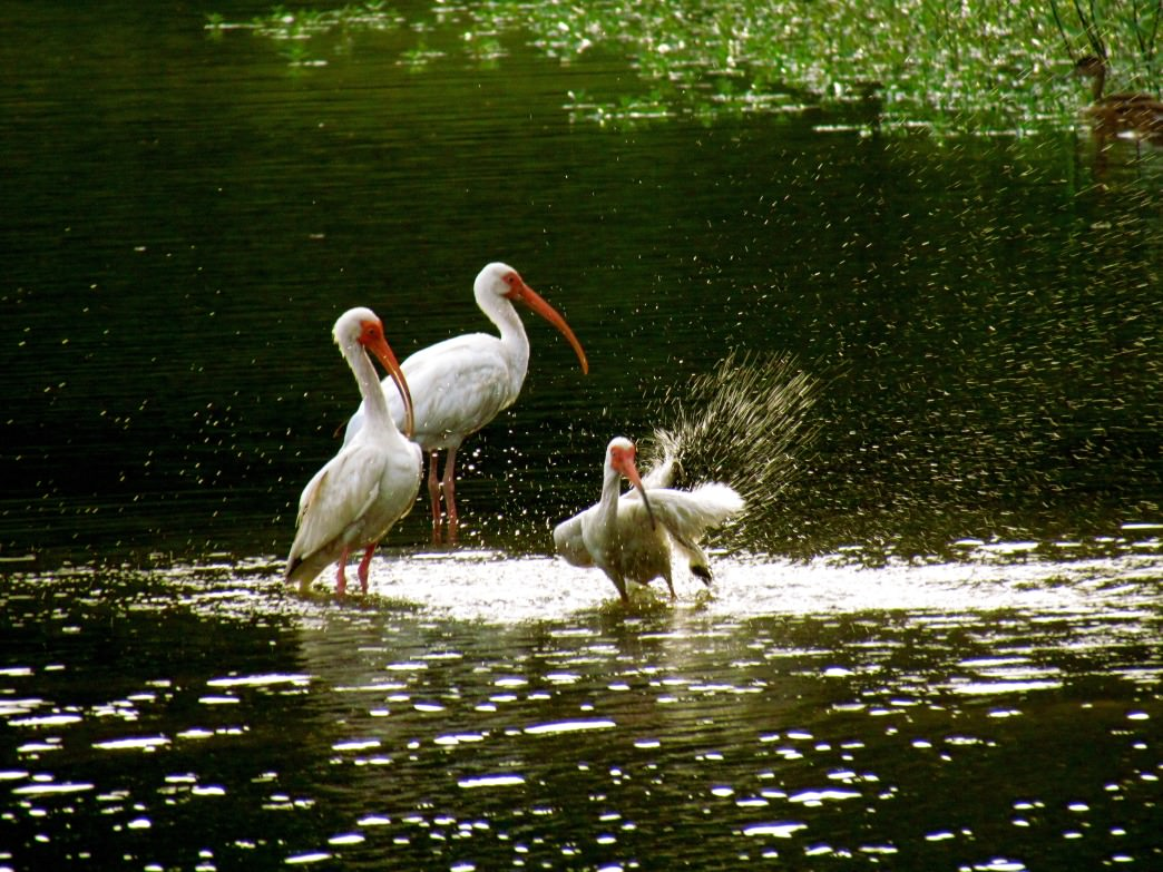 White ibis and great blue herons nest in Ibis Pond
