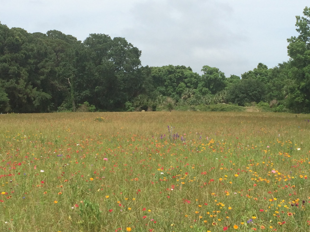 Wild flower field in Sea Pines Forest Preserve