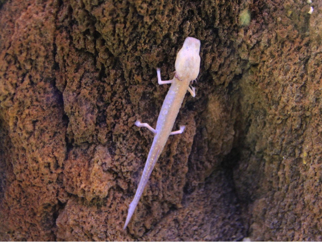 Texas Blind Salamander, Courtesy of