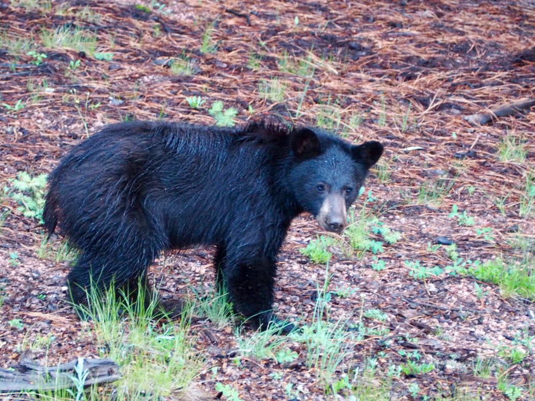 Black bear activity is commonplace in Aspen during the fall.