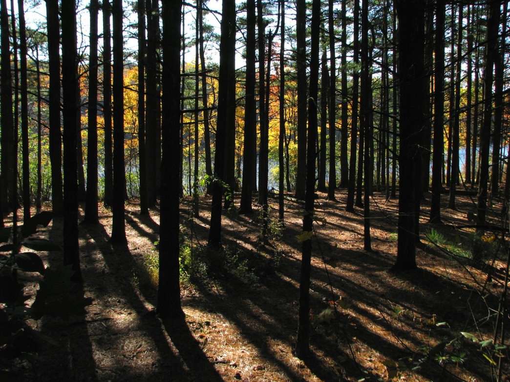 A pine forest along Scott Run Lake in French Creek State Park