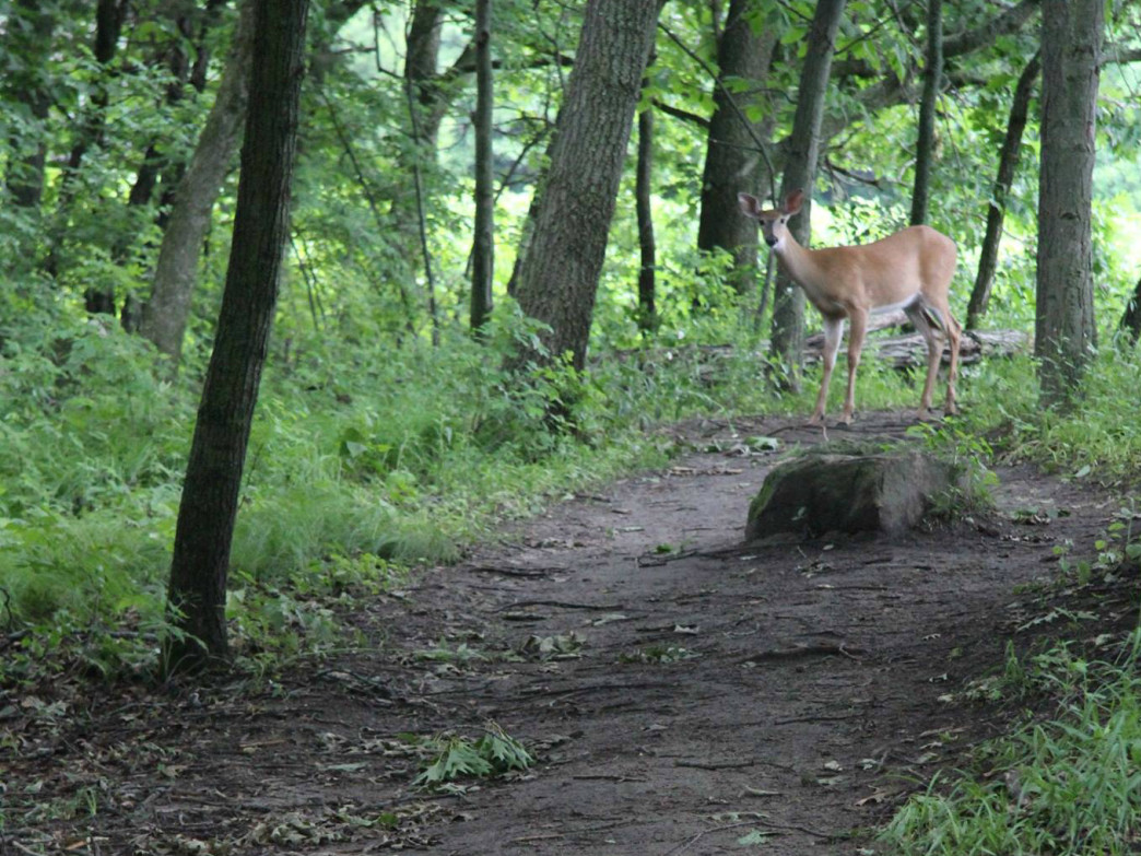 White-tailed deer are frequently seen on Wisconsin trails.