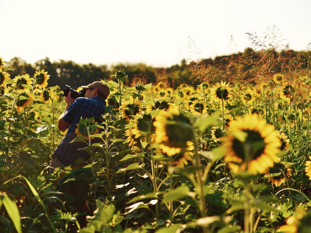 You can catch a dazzling sunflower display at Forks of the River Wildlife Management Area.