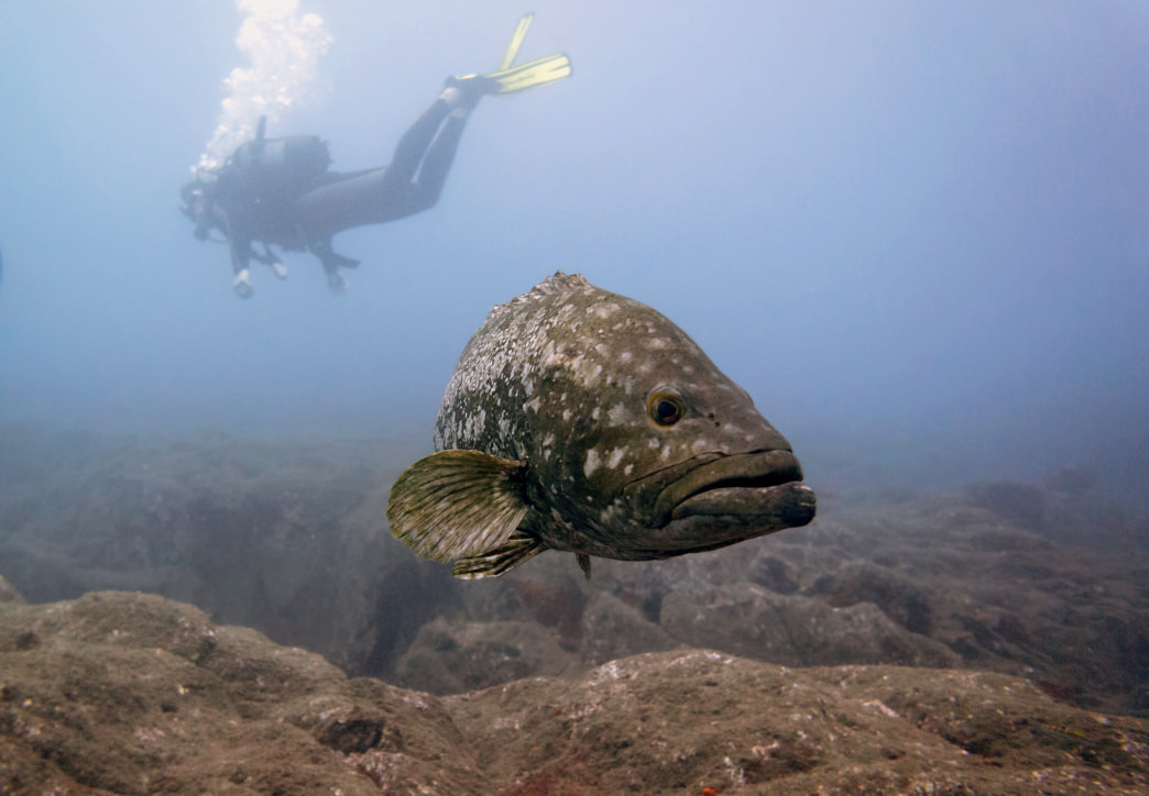 Look for the goliath grouper colony off the shore of Madeira.
