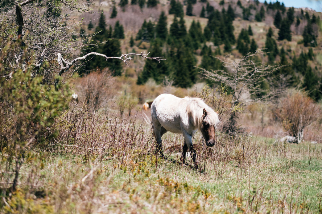 Grayson Highlands State park is known for its wild ponies.
