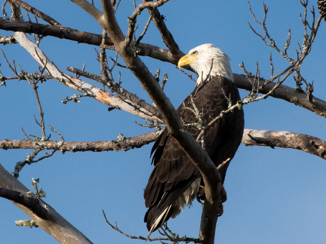 It wasn't that long ago when spotting a bald eagle was an extremely rare event