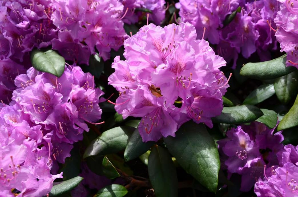 The soft purple blooms add vibrant color to Stone Mountain State Park