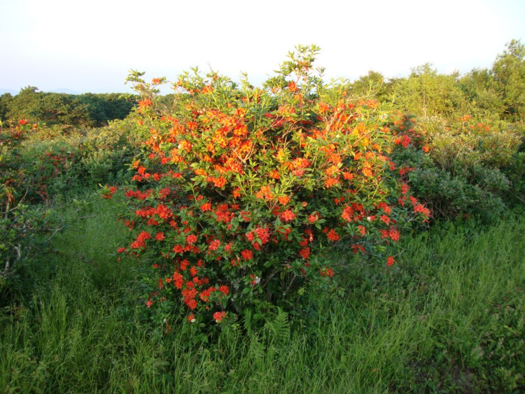 Every year the high altitude meadow on Gregory Bald ignites with huge thickets of flame azaleas.