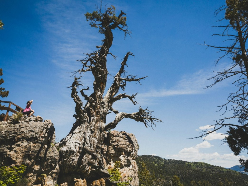 The Jardine Juniper tree is at least 1500 years old. Located in the Cache National Forest, Logan Canyon, Utah