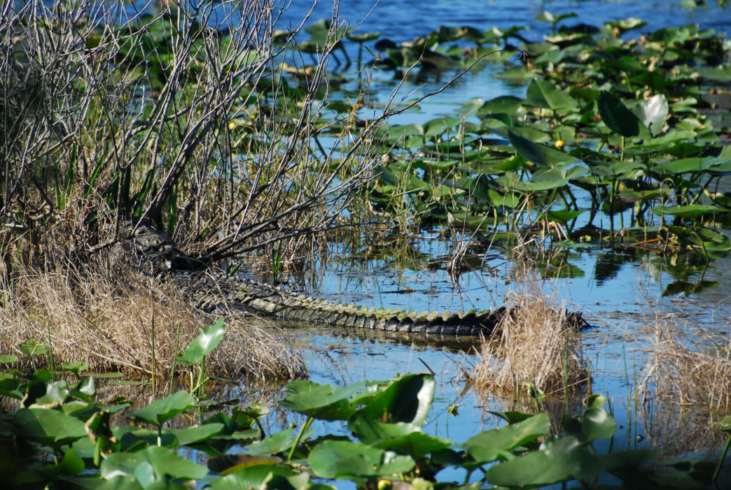 Alligators in the Mobile-Tensaw Delta can exceed 16 feet in length.