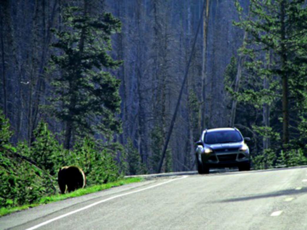 A bear wanders down a road in Yellowstone.