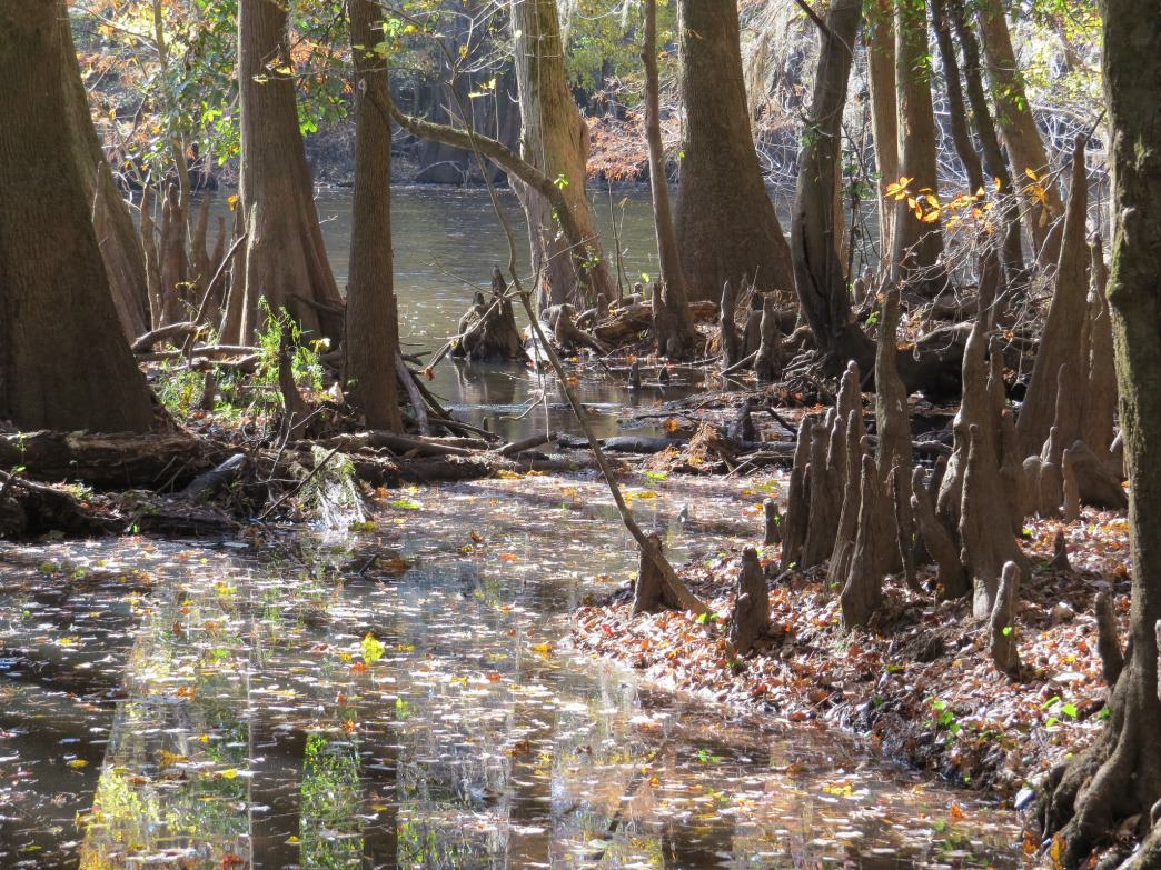 Old growth bottomlands in Congaree National Park.