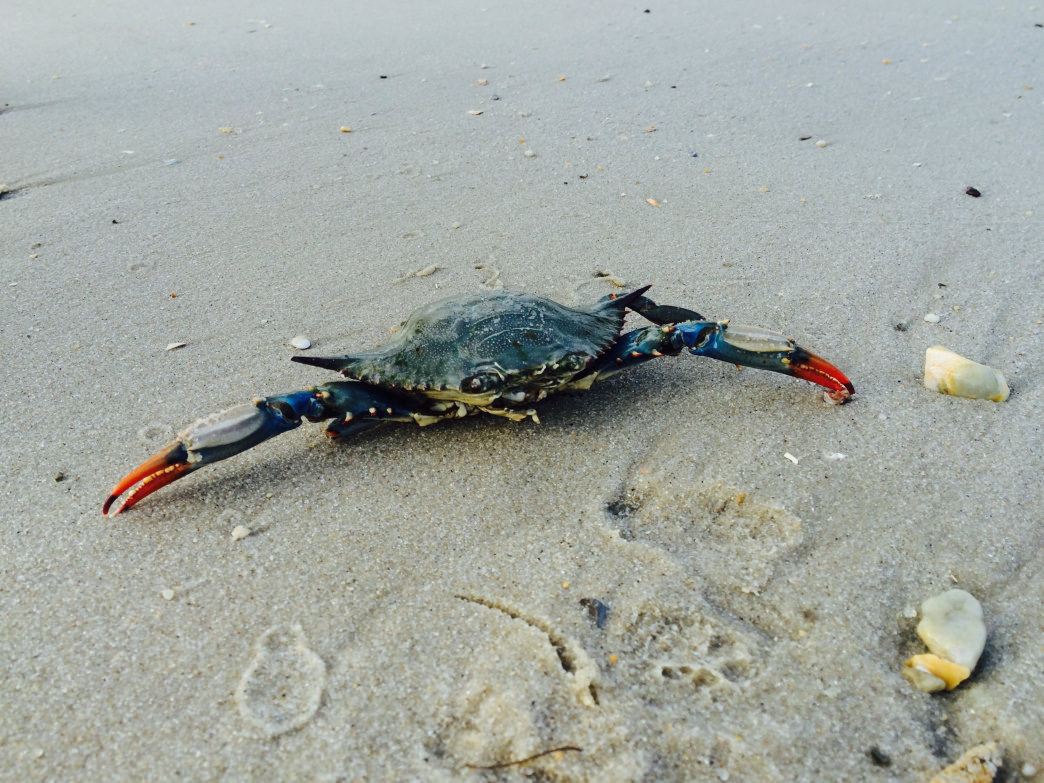 Maryland is known for its blue crabs.     Malee Oot