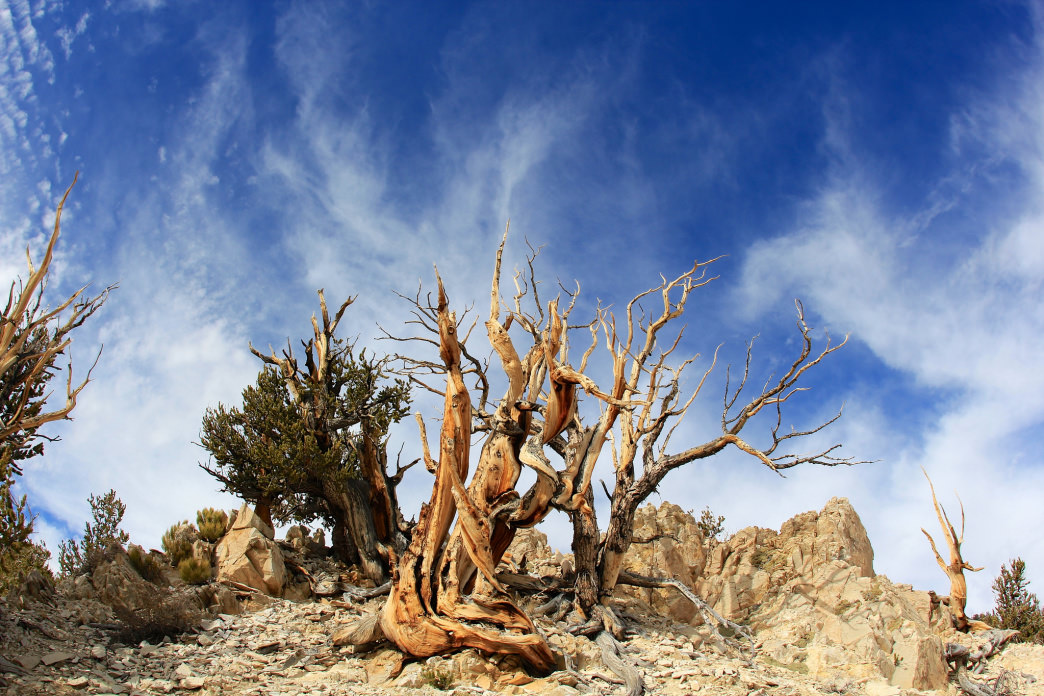 Ancient Bristlecone pine forest in Inyo County, California.