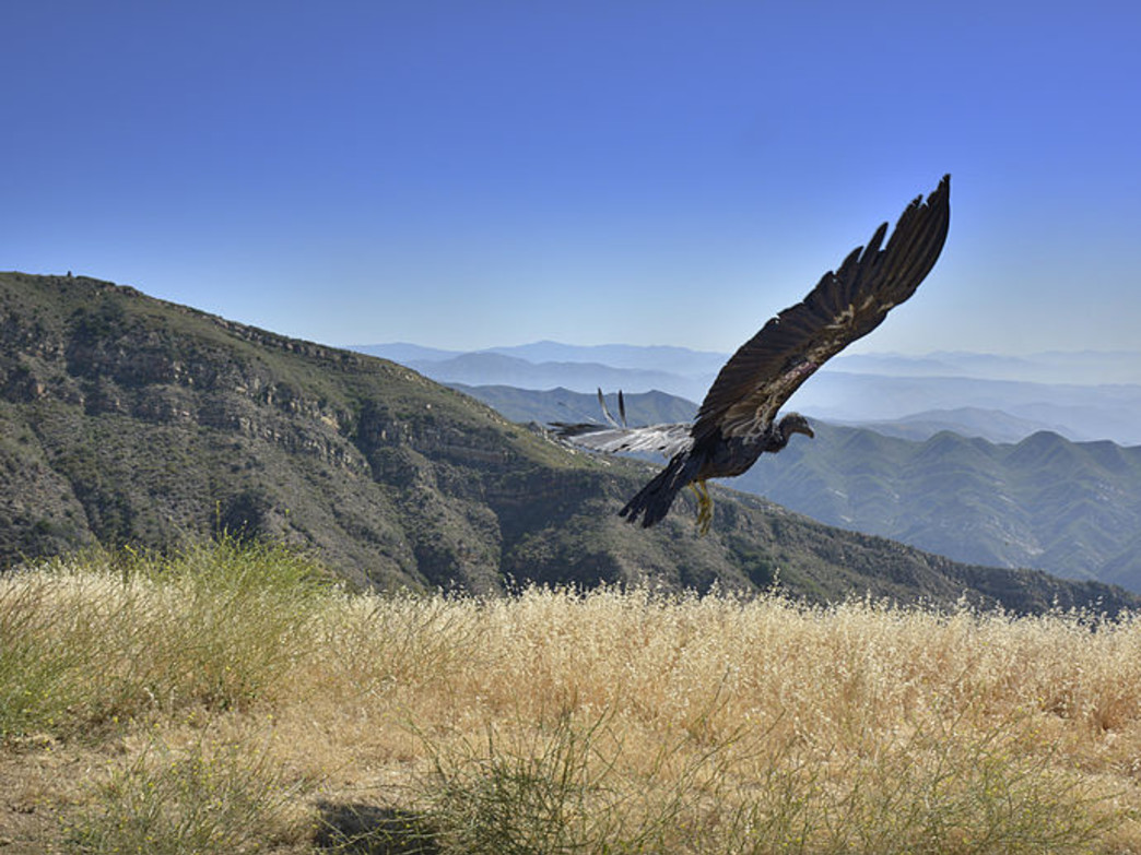 Spot rare California Condors in Pinnacles National Park