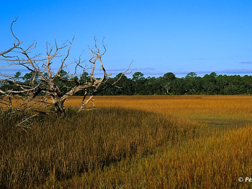 As fall hits the Lowcountry Spartina grass begins to turn a golden brown
