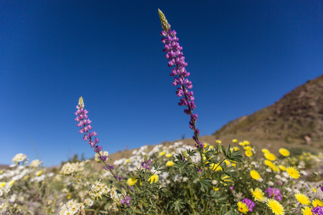 Generally speaking, you can expect a super bloom to occur in your favorite desert park about once every decade or so.