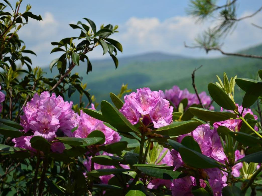 In June, the Rhododendron eclipse even the mighty granite dome at Stone Mountain State Park