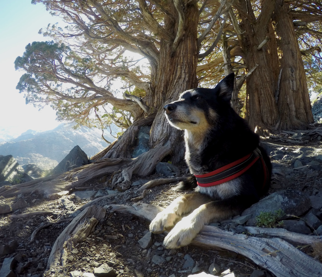 Shylie briefly tolerates a portrait with a juniper tree overlooking the Desolation Valley.      Kara Guzman