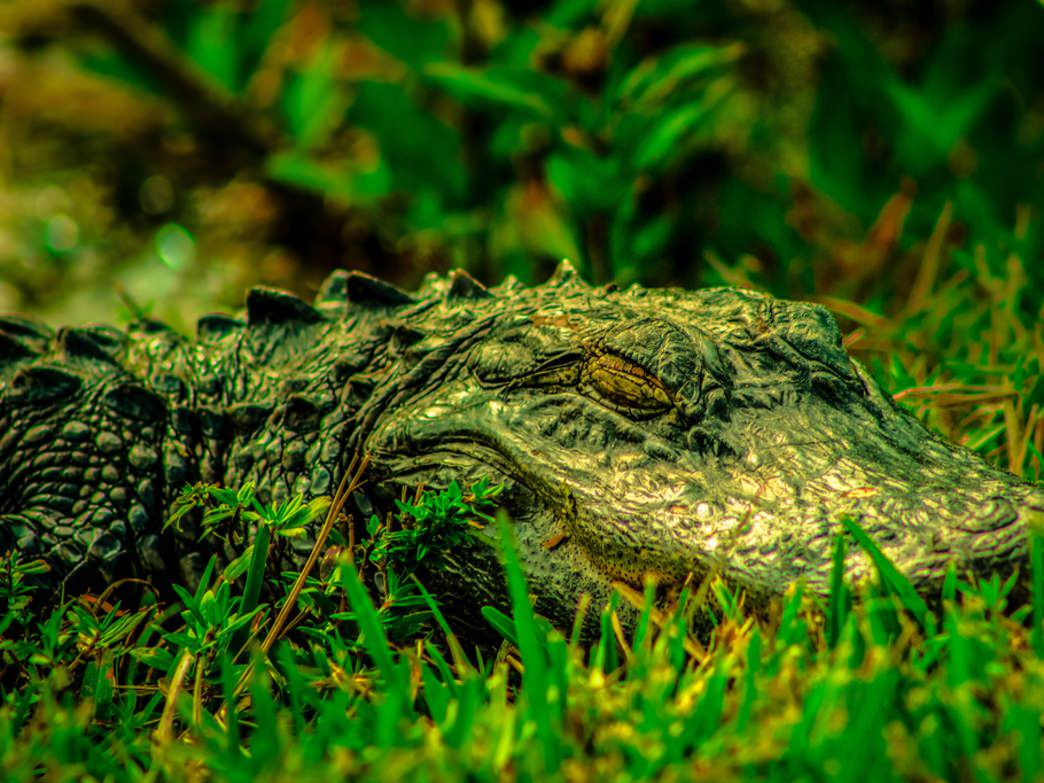 Central Florida has a number of excellent places to see alligators
