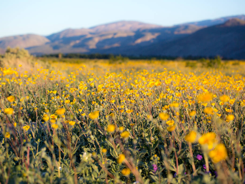 A colorful explosion of wildflowers in California's Anza-Borrego State Park.