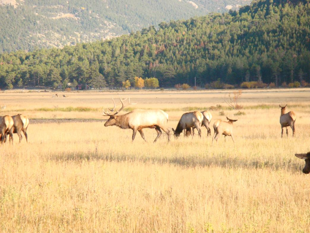 During the rut, bull elk strut and posture to defend their harems.