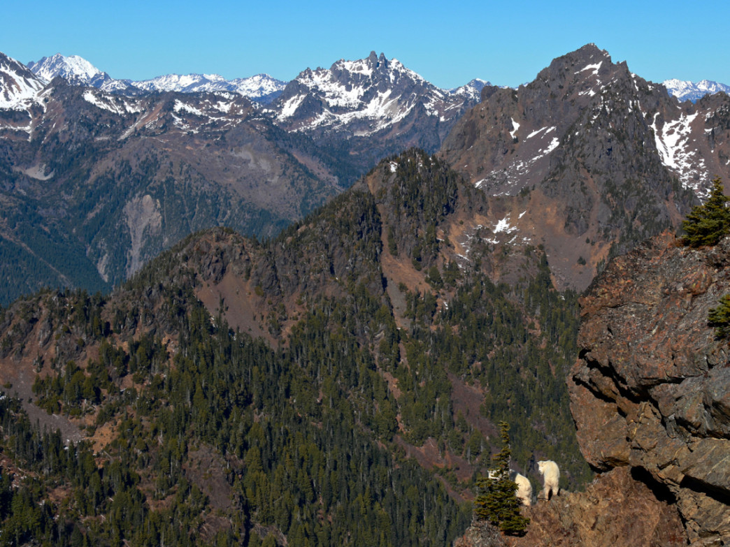 Mountain Goats from Mount Ellinor