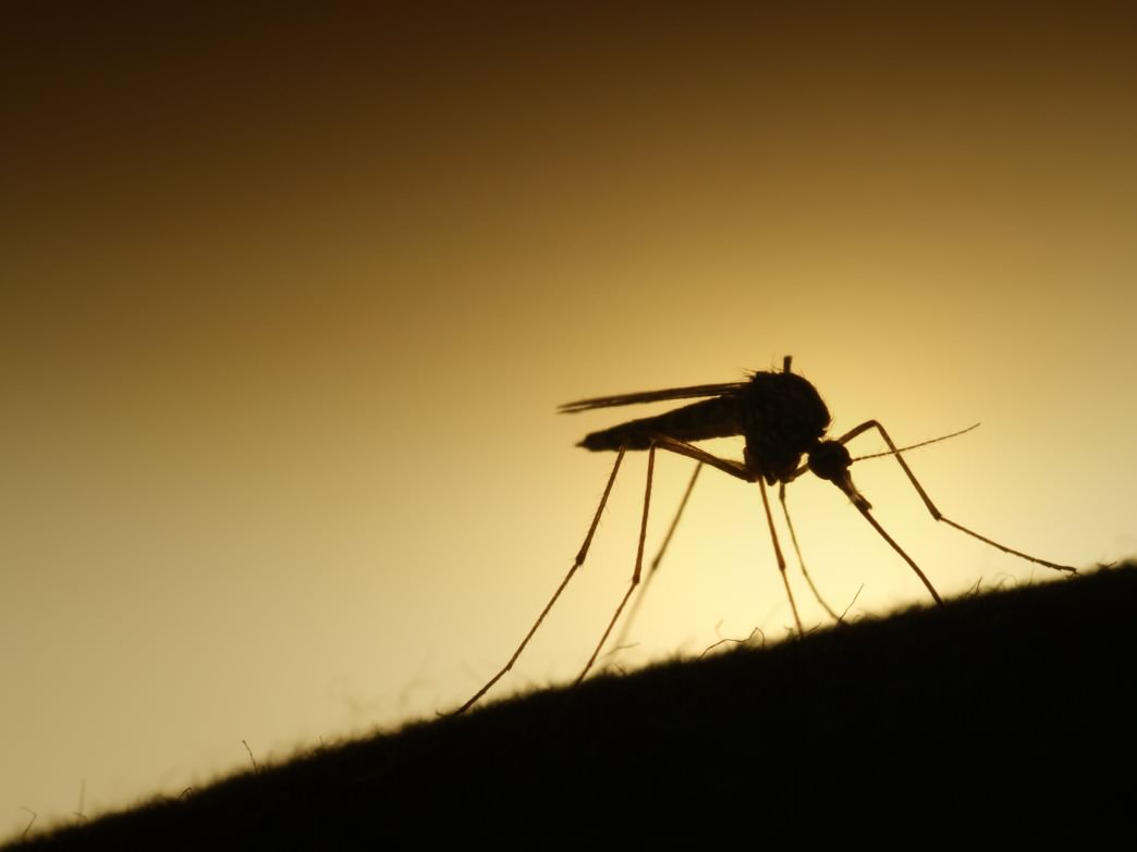 The Aedes Aegypti, the mosquito most likely responsible of the spread of the Zika virus, is able to survive in northern climates.