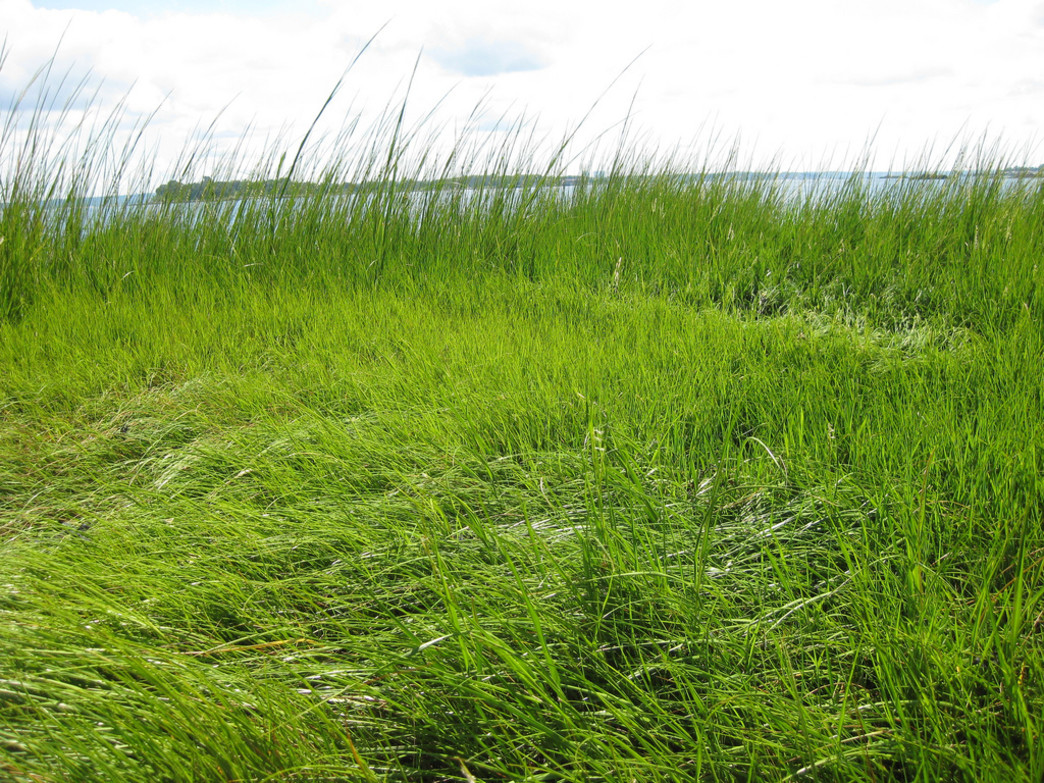The grassy springtime marshes of Pelham Bay