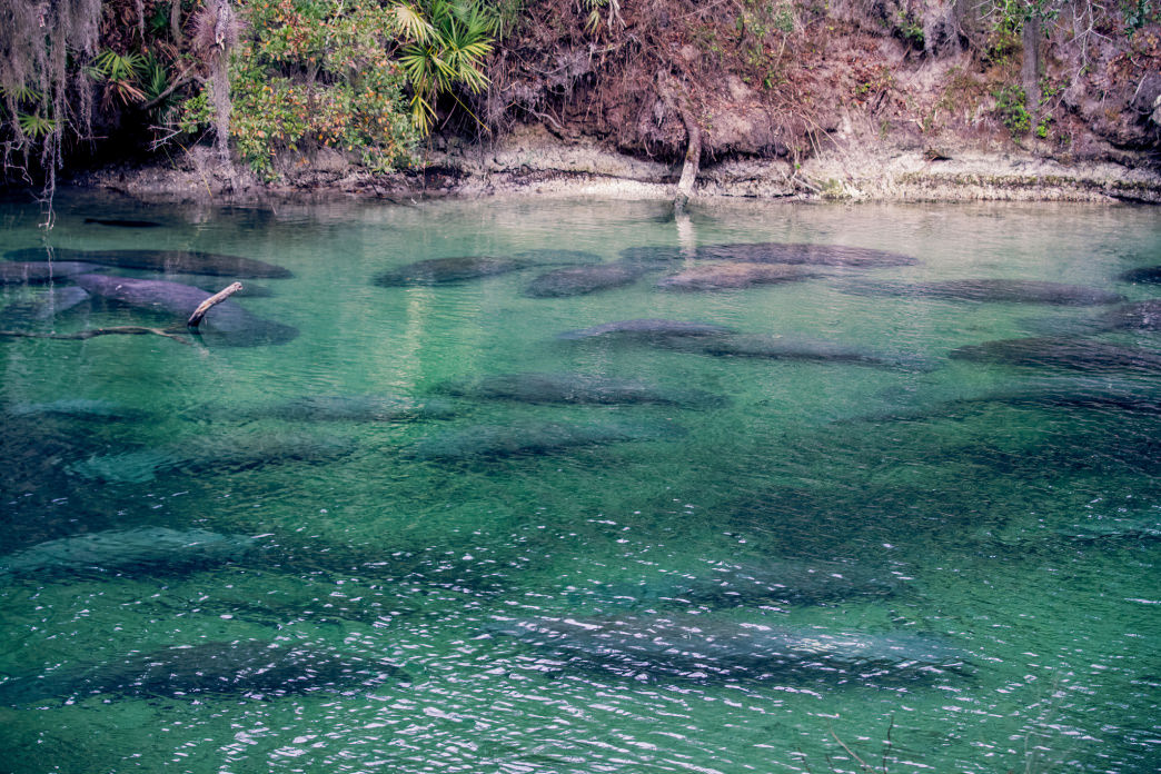 Blue Spring State Park is one of the most popular places to see manatees.