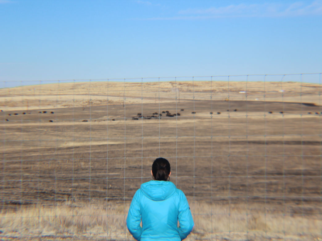 The bison herd started with 16 of these majestic beasts, but today it's over 80.