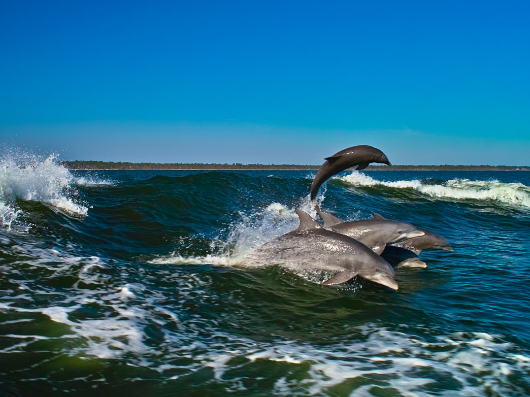 Local outfitters can help you spot bottlenose dolphins in the wild.