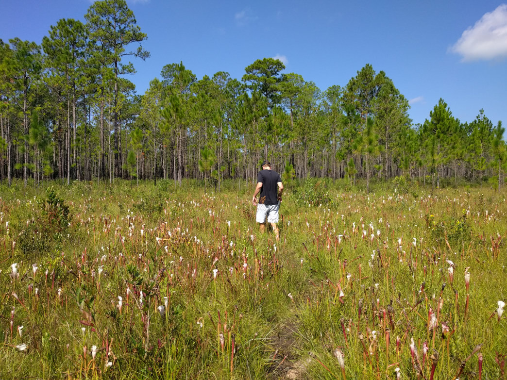 Managed by the Nature Conservancy, Splinter Hill is considered one of the most visually impressive pitcher plant bogs in the world.