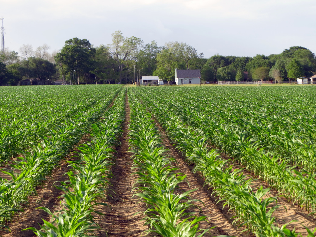 It won't be long before this corn field will be ready to be trimmed into an intricate corn maze.
