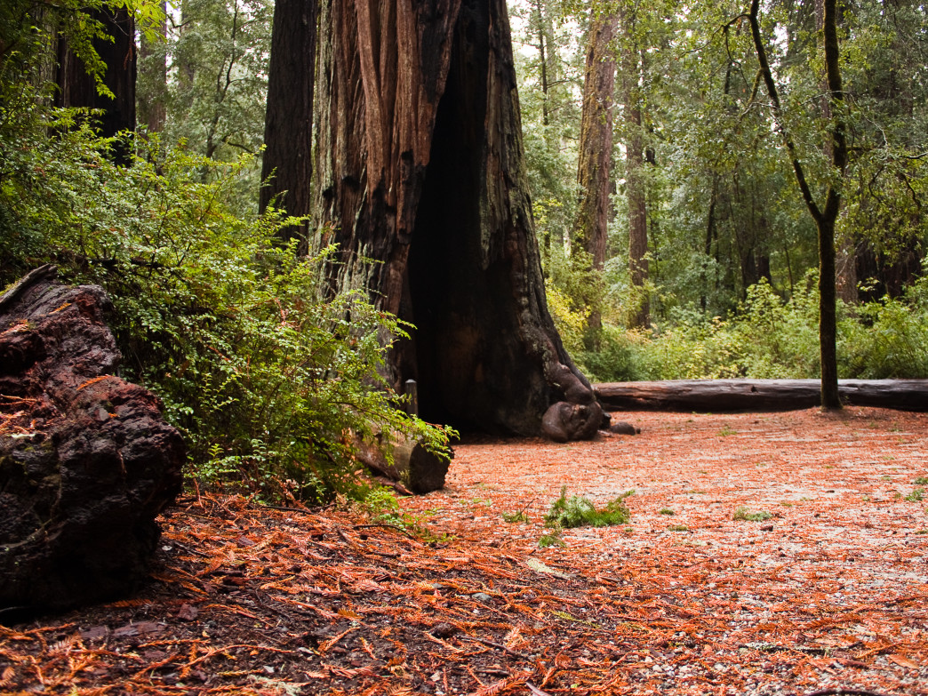 Run through groves of ancient redwoods.