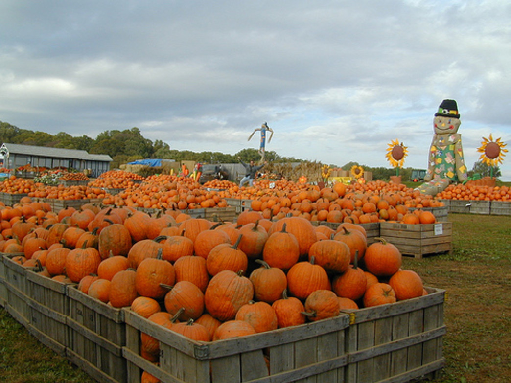 Linvilla Orchads really does have pumpkins as far as the eye can see