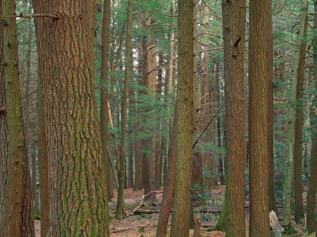 The old-growth forests of Joyce Kilmer Memorial Forest.