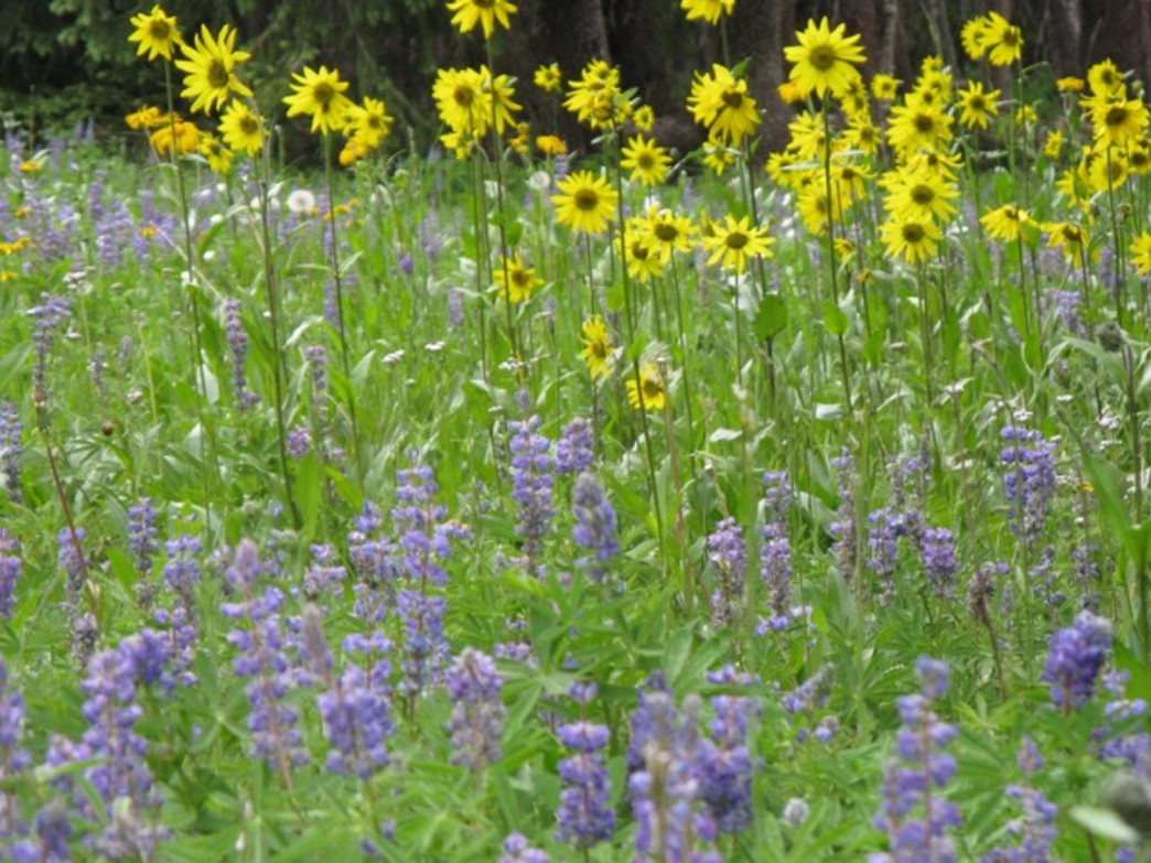 The Bighorn Creek Trail in East Vail wows with wildflowers.