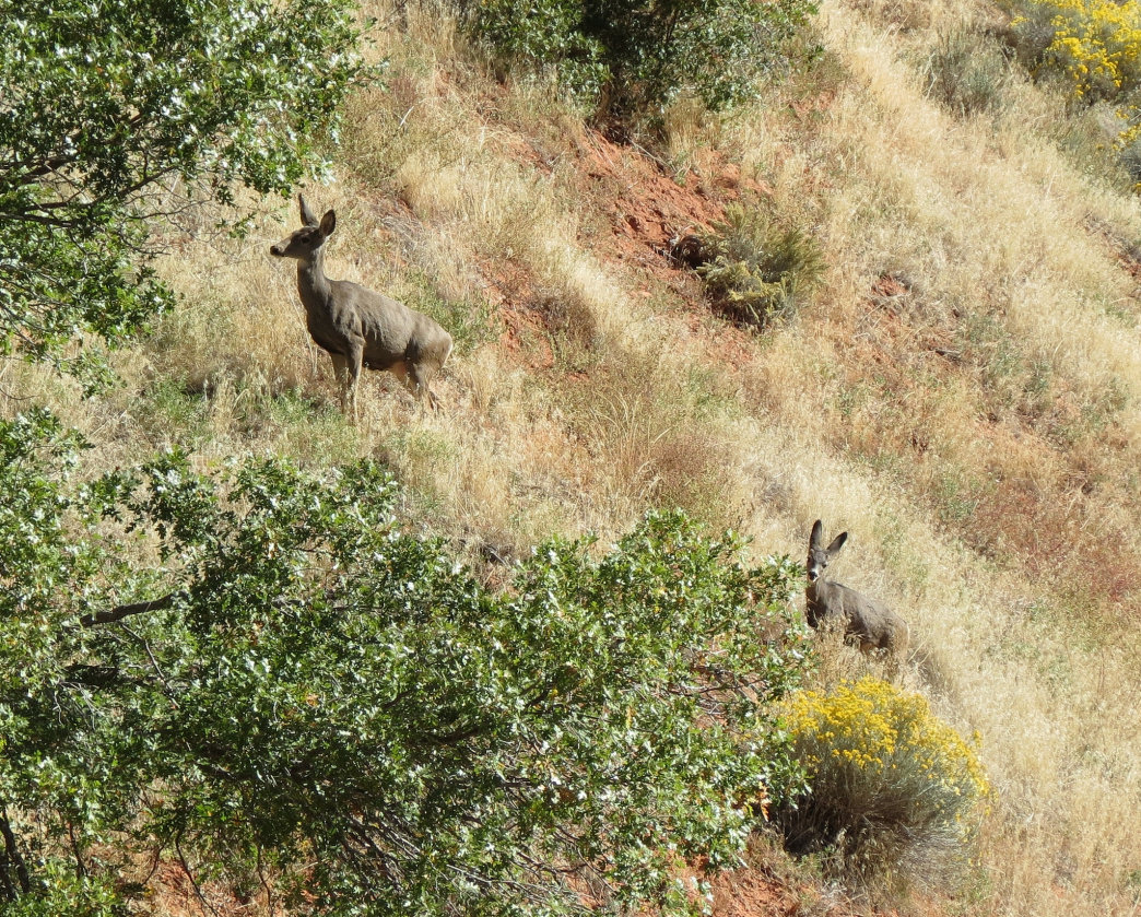 Wildlife along Kolob Canyon in Zion National Park, Utah.