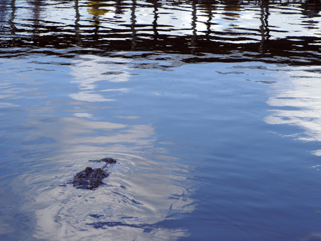 An alligator hanging around the brackish water at the Canaveral National Seashore