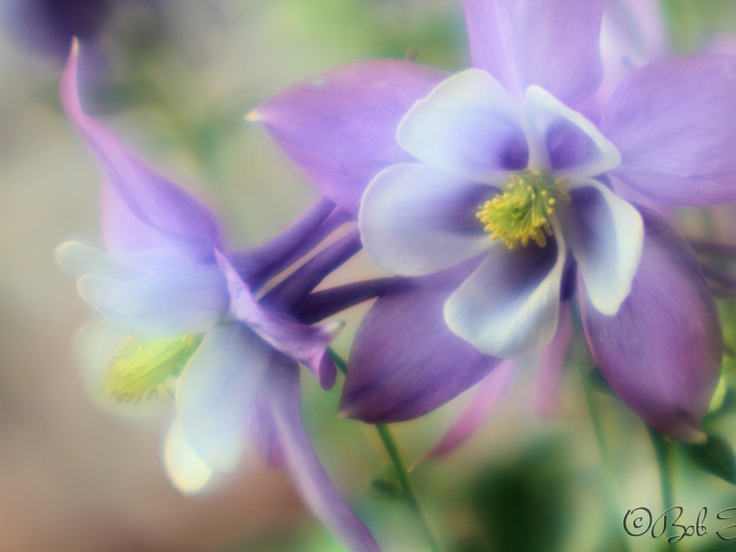 When Hiking Bob slows down, it's usually to photograph Columbines like these.