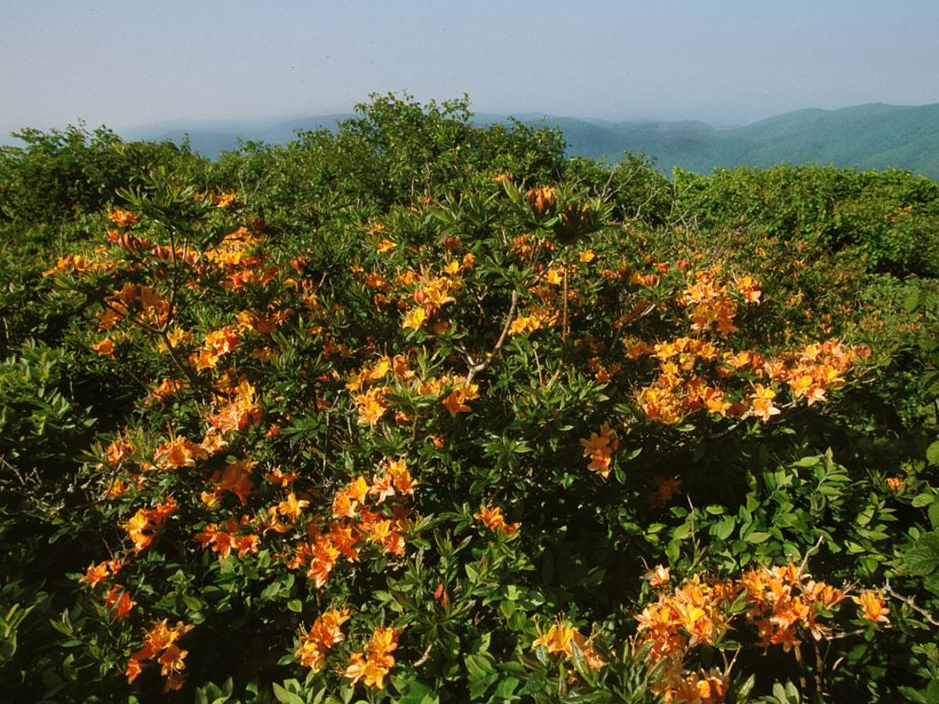 Flame azaleas are king of the mountain at Elk Knob State Park