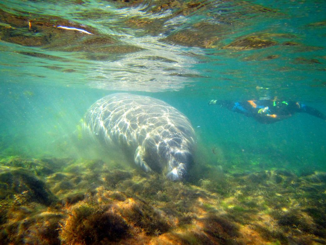 You can take a three-our manatee swim tour with River Ventures.